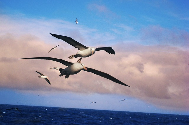 albatros-556567_640